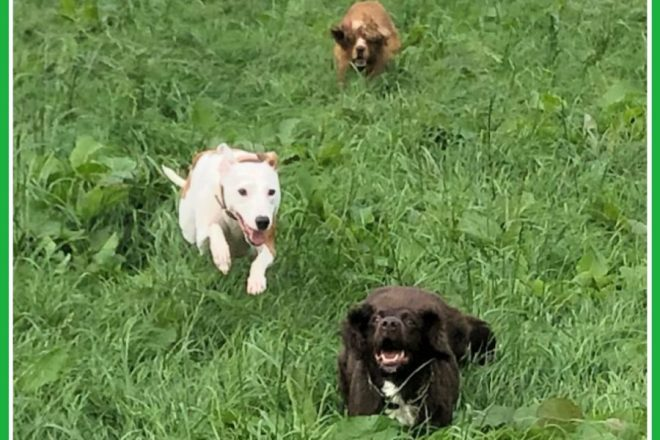 Clever K9s Dog Walking Keighley Recall in action