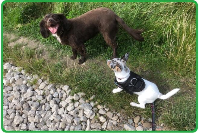 Clever K9s Puppy socialisation & walk training