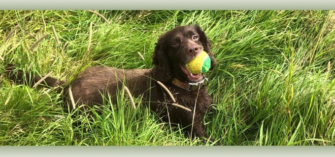 Clever K9s Dog Walking Keighley Meg with tennis ball
